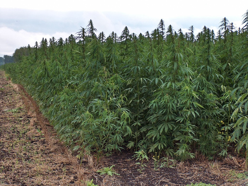 Indutrial Hemp farm that is NOT in the United States, but many feel it it should be grown in the states